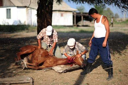 Horse slaughterhouses - photo#26