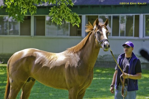 California Chrome_Belmont 2014